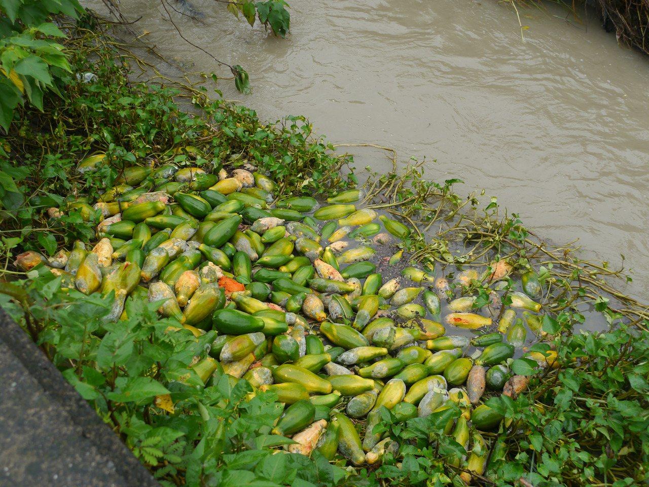 美濃木瓜水傷嚴重,農民丟棄水圳放水流走。圖/本報資料照