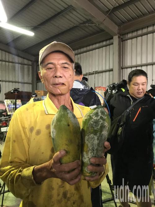 木瓜農林棋錦說,種五分地損失一半,木瓜採收時是完好的,受水傷的木瓜放4天後開始發...