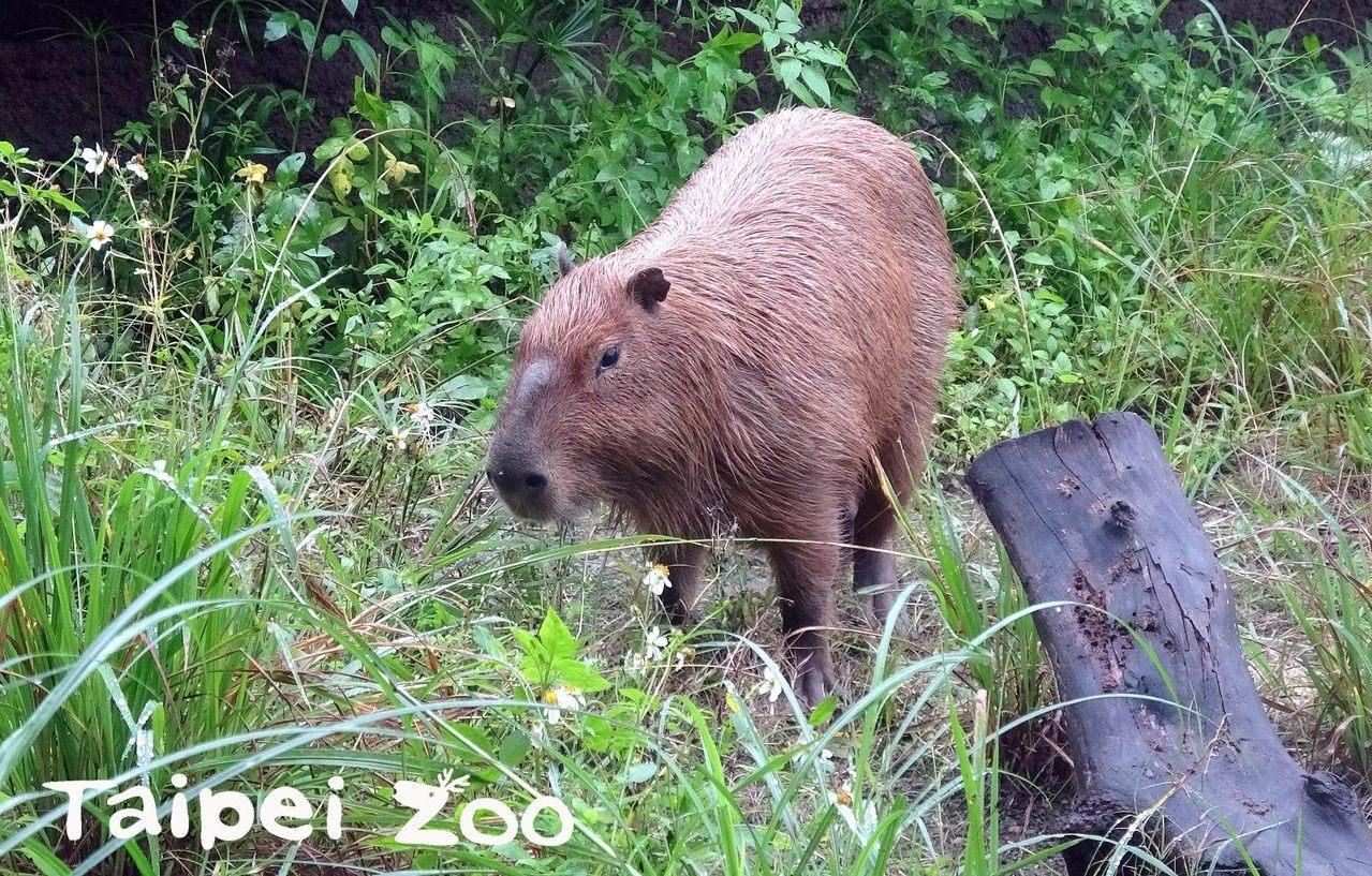 台北市立動物園近期開放熱帶雨林區,但園方最近發現,堪稱自然界「除草機」的水豚,把...