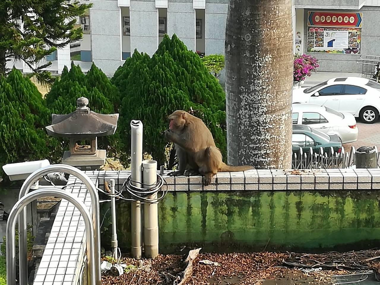 雲林縣日前屢傳台灣獼猴闖入校園,甚至有猴群想要偷吃學生的營養午餐、翻學生書包,開...