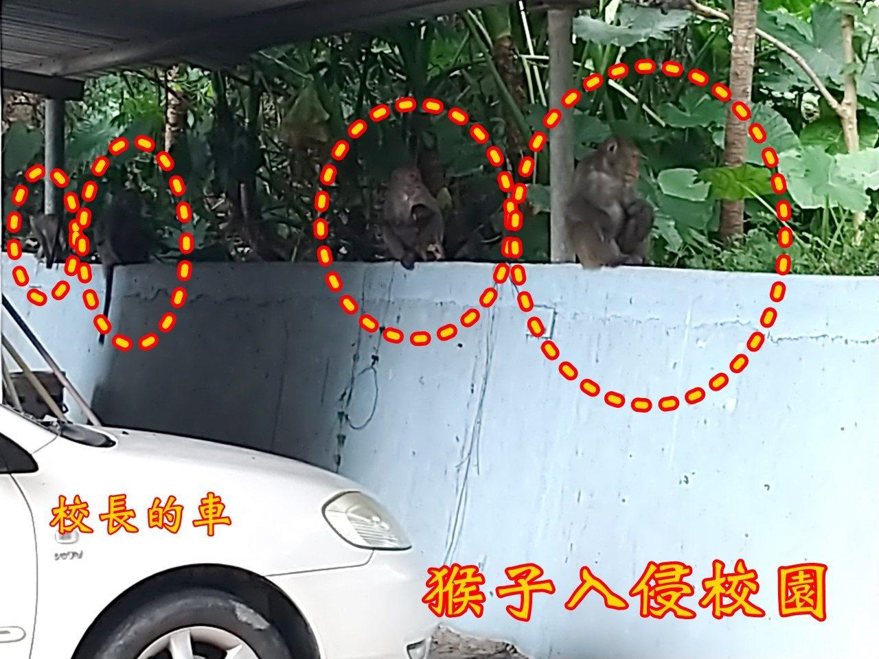 台灣獼猴已從保育類動物除名,但山區獼猴數量居高不下,隨著猴群壯大及為了覓食,活動...