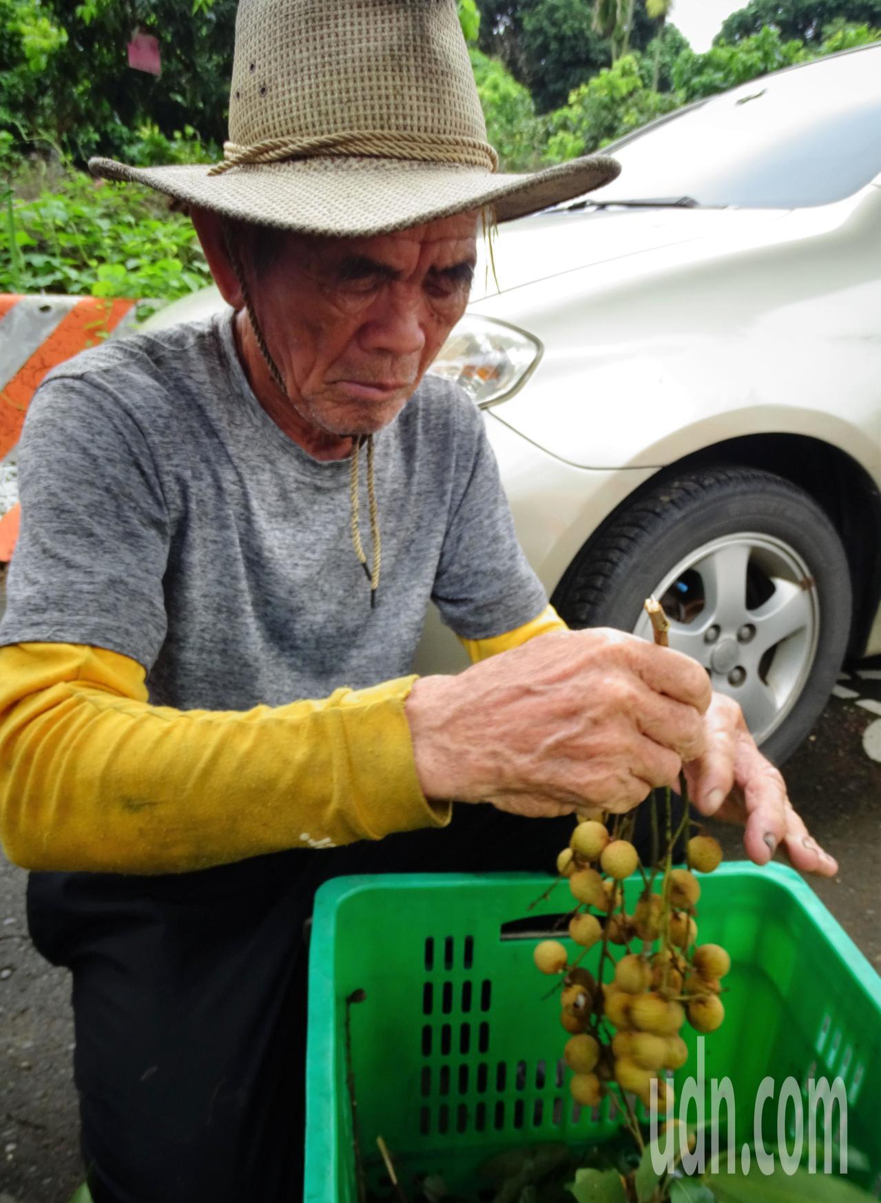 彰化縣社頭鄉農民劉政治種植龍眼70載,也認為果樹矮化好處多多。記者凌筠婷/攝影