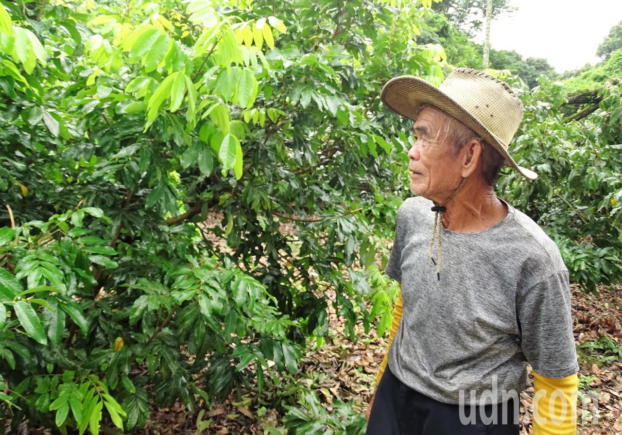82歲的劉政治種植的龍眼樹都不到2公尺高,一個人就能輕鬆採收。記者凌筠婷/攝影