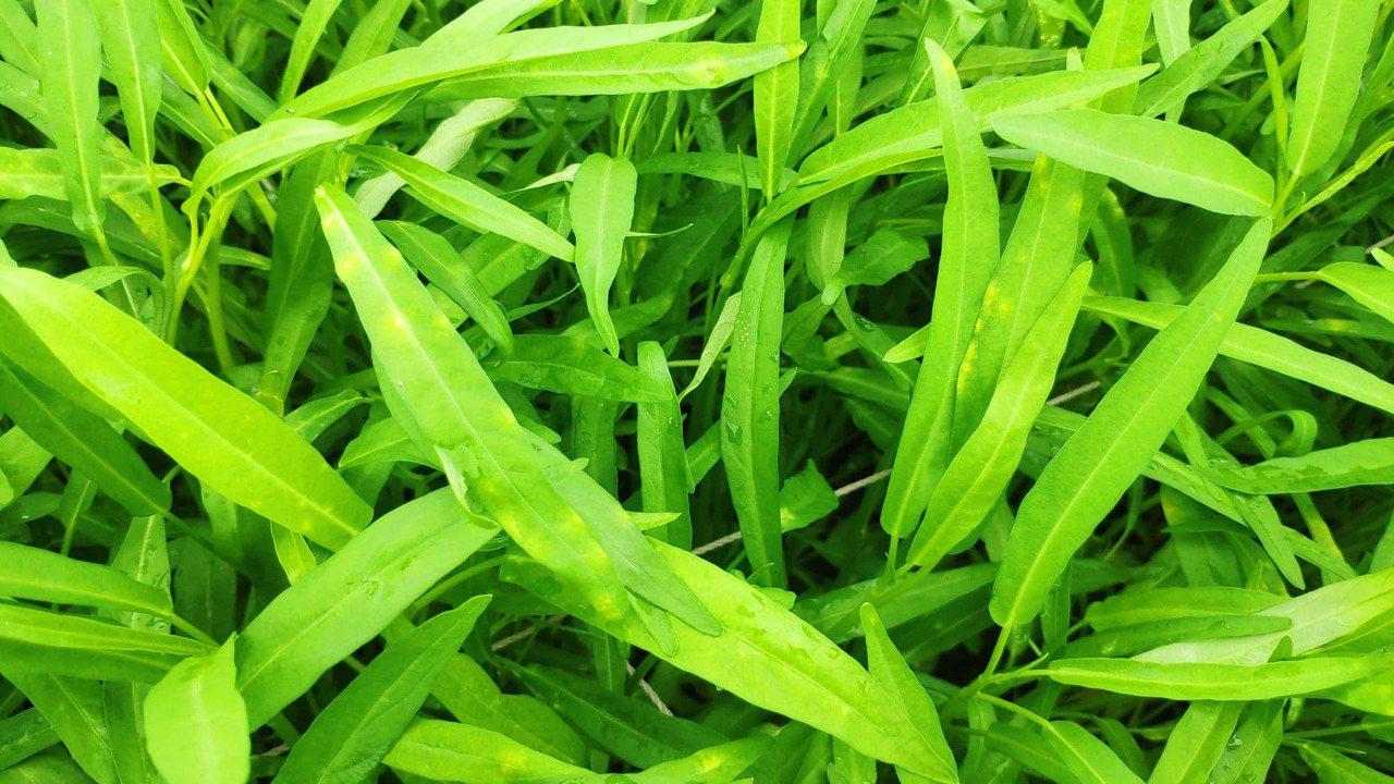 農民栽種的空心菜因為連續豪雨,使得蔬菜發黃、出現斑點潰爛。記者李京昇/攝影