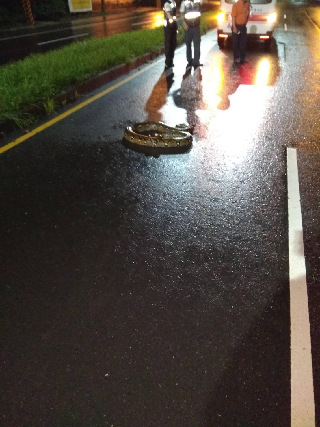 1條長達1.8公尺的蟒蛇近深夜流竄在大寮區新厝路上,被民眾發現後唯恐傷到其他用路...