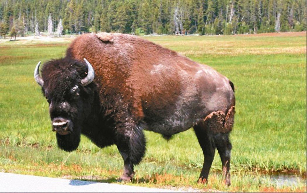 大野牛竟然衝向我,用牛角撞我的左臀部,把我拋到半空中,重重摔回地面;我腦殼破裂、...
