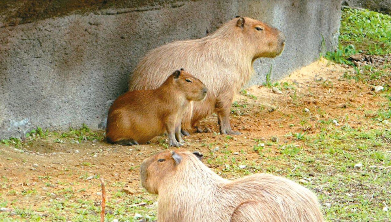 台北市立動物園熱帶雨林區開放,但園方最近發現,堪稱自然界「除草機」的水豚,把人工...