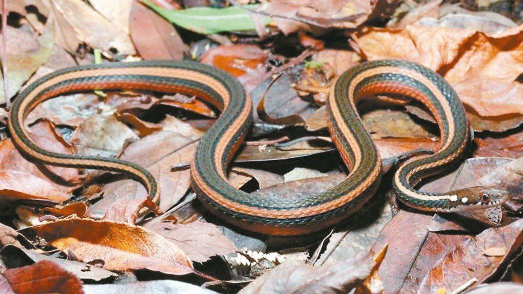 金絲蛇主分布於北橫巴陵至明池一帶。 圖/路殺社提供、汪仁傑攝影