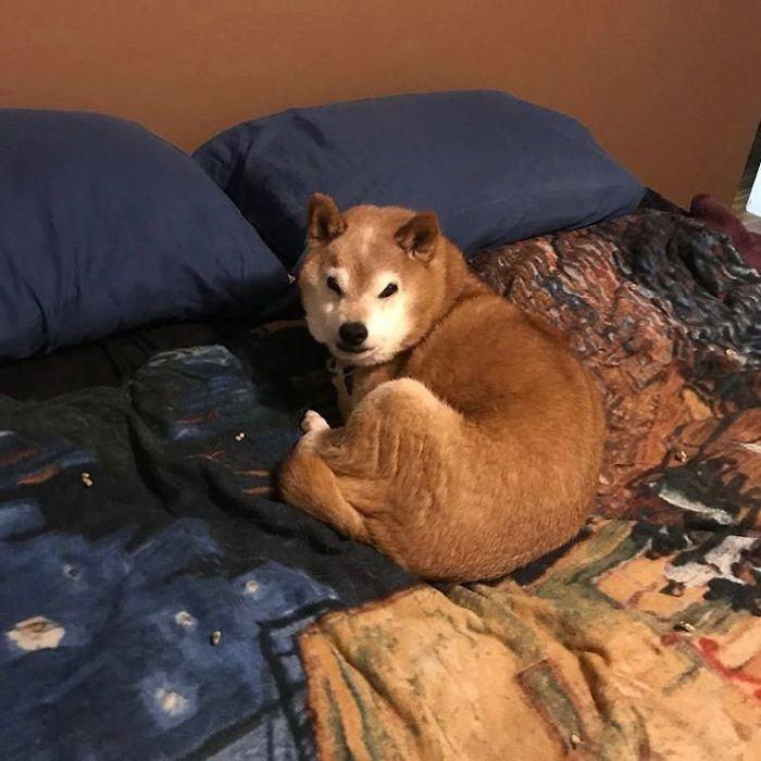 12歲柴犬Chester擁有「天生厭世臉」。圖擷自grumpysheeb
