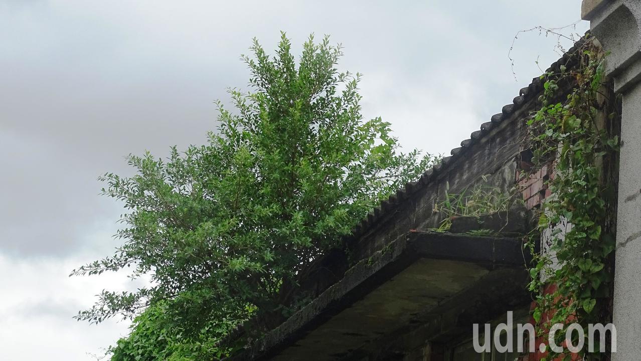 舊館派出所原來的辦公廳舍閒置32年,牆壁長出多株榕樹。記者何烱榮/攝影