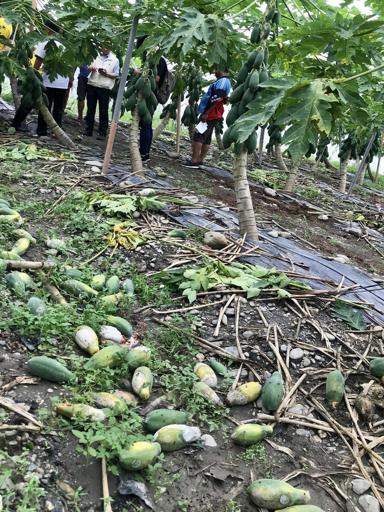 農委會主委陳吉仲表示,屏東木瓜每公頃可申請7萬5千元現金補助。記者江國豪/攝影