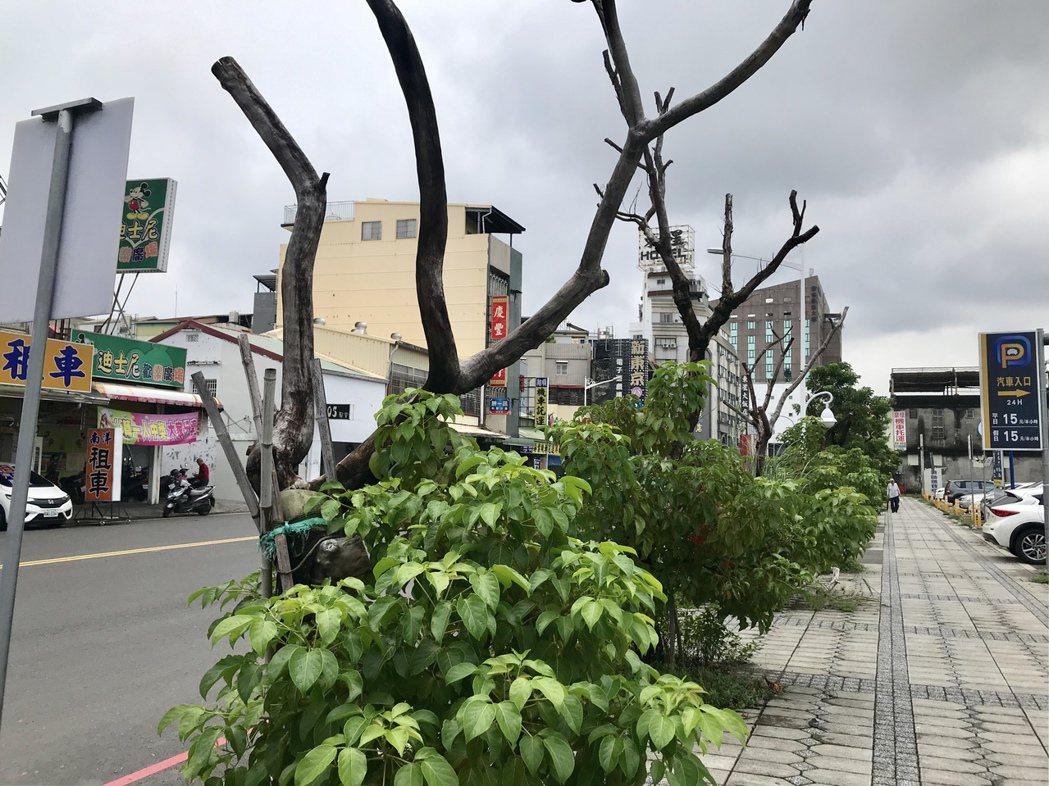 民眾反映路邊行道樹頭部枯萎,影響門面美觀。記者江國豪/攝影