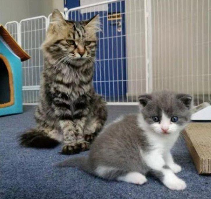 複製貓大蒜(右)和代孕貓媽媽(左)。圖/科技日報