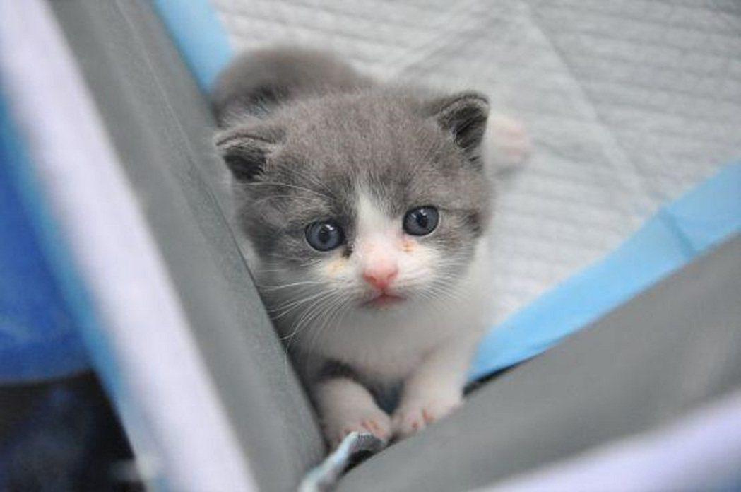 大陸首隻複製貓滿月,取名為「大蒜」。圖/科技日報
