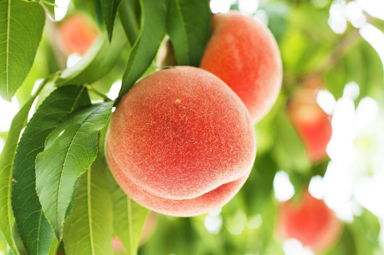 山形縣號稱水果王國,8月正是水蜜桃產季。圖/JR東日本提供