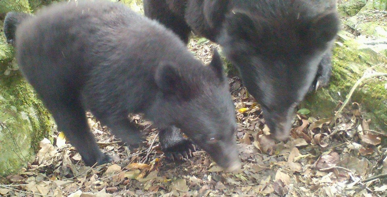 林務局上月底獲報後,在台30線架設自動相機,拍下母子熊在山區覓食的照片。圖/花蓮...