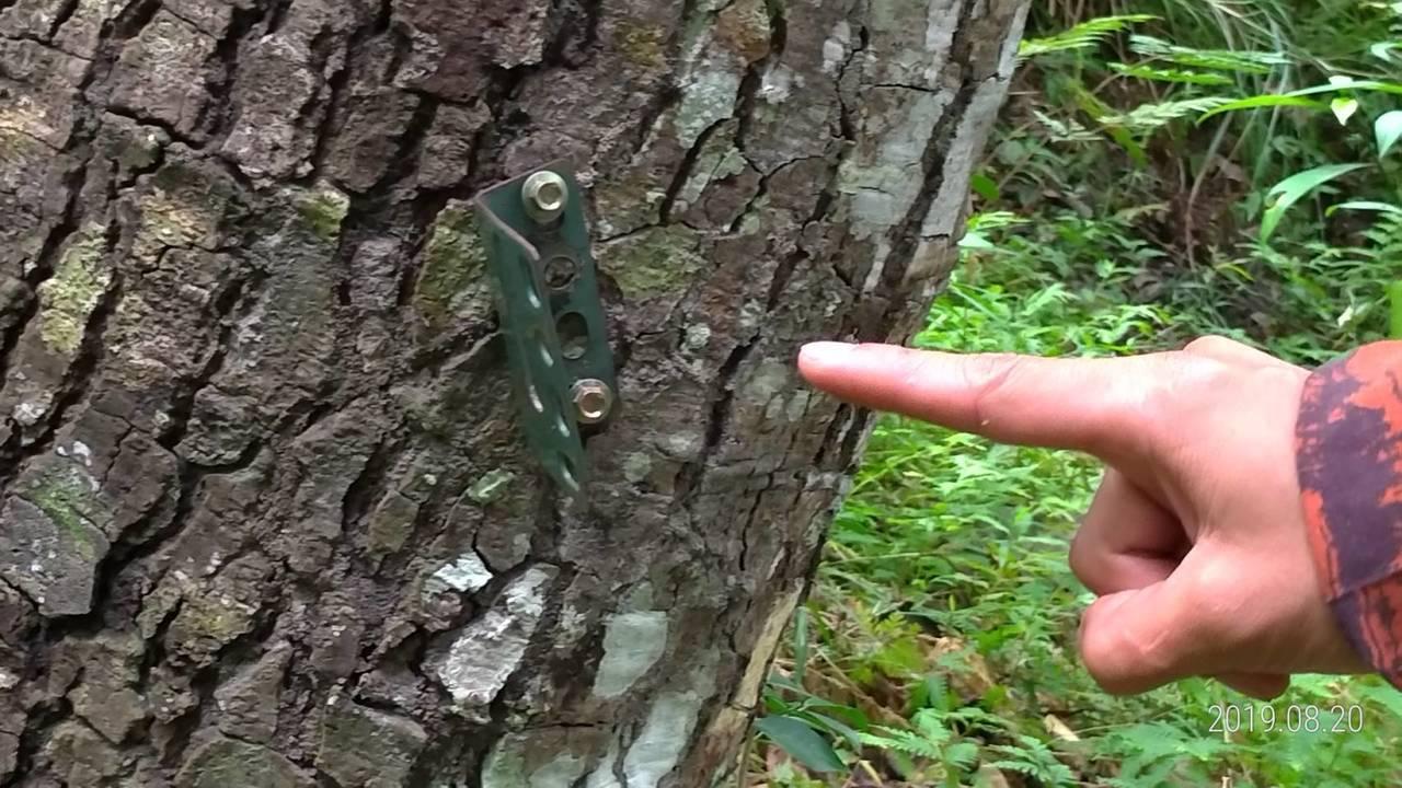 黑熊保育協會安裝監測相機的樹幹上,殘留固定的相機基座。記者王燕華/翻攝