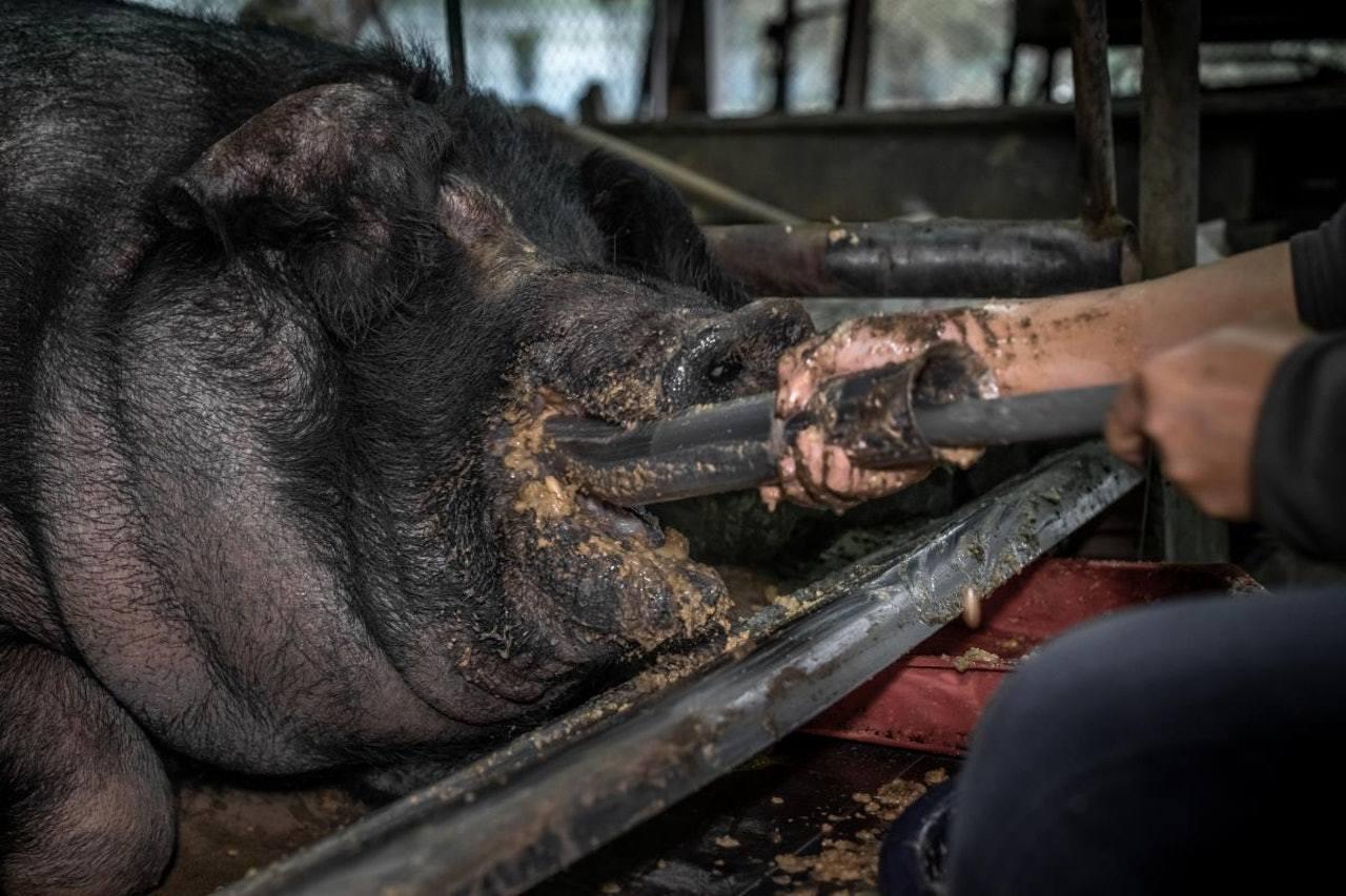 「神豬」在2年間被強迫灌食2年增肥至700公斤,當牠不肯進食時,飼養員會用灌食器...