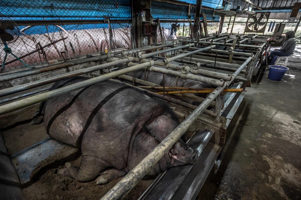 為預防神豬掙扎,在餵食時會用一根又長又粗的竹杆,壓在神豬背部令牠無法動彈。 台灣...