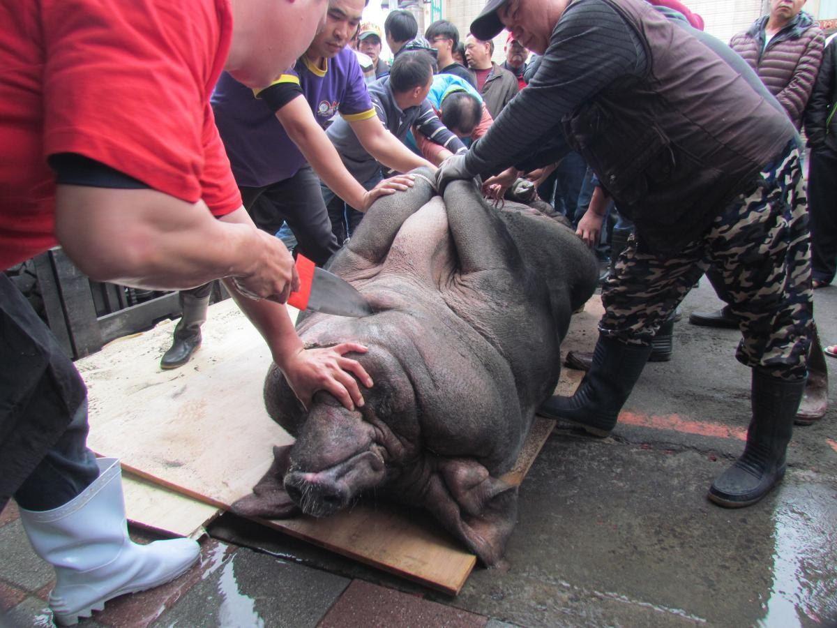 屠宰者以長達1呎半至2呎的尖刀,在圍觀者面前,直接刺入神豬的喉嚨放血,非常殘忍。...