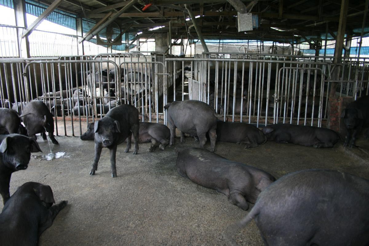 未成為「神豬」前的小黑豬,身型明顯相差甚遠。 台灣動物社會研究會圖片