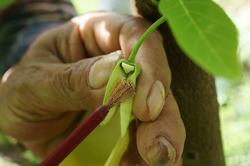 台東釋迦果農為釋迦花雌蕊人工授粉。圖/台東農改場提供