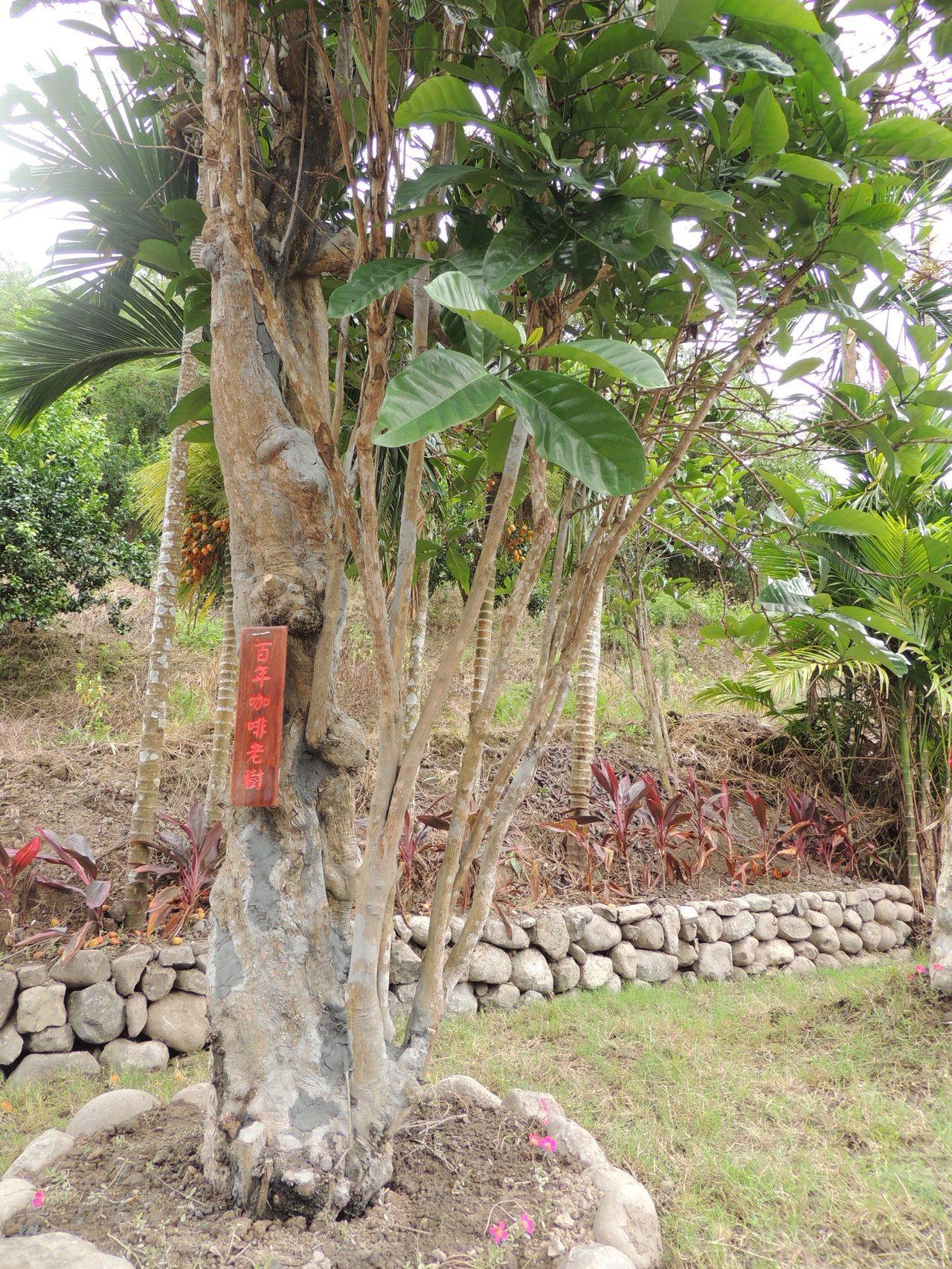 這棵長了樹瘤的咖啡樹估計樹齡已有百年。記者羅紹平/攝影