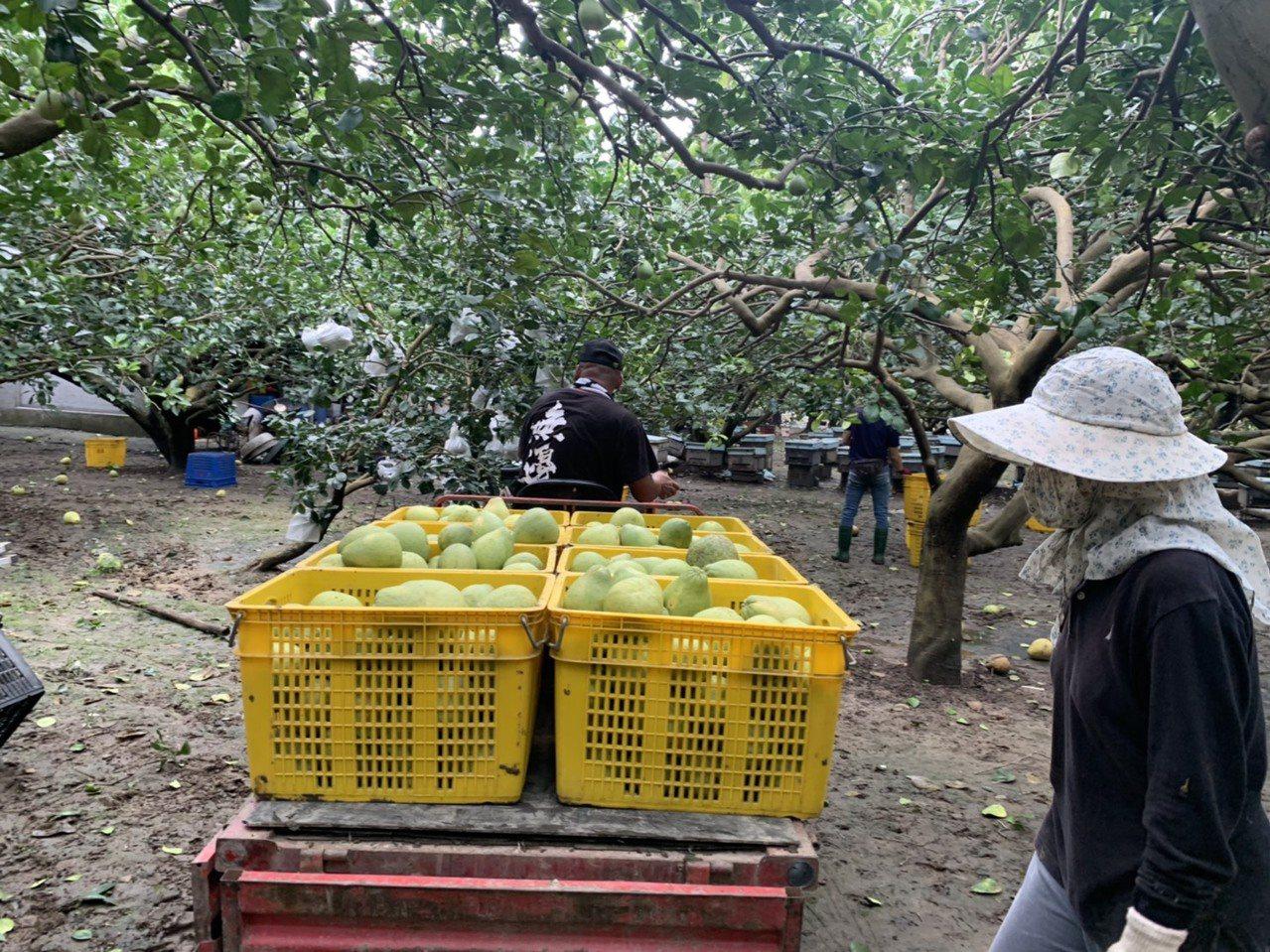 豪雨颱風接連來攪局 台南麻豆文旦加緊動員採收