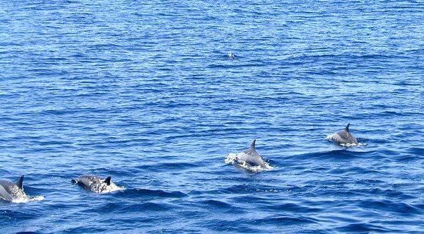 運氣好還會遇到海豚圍繞船隻附近游泳,近距離欣賞海豚可愛模樣。圖/東北角風管處提供