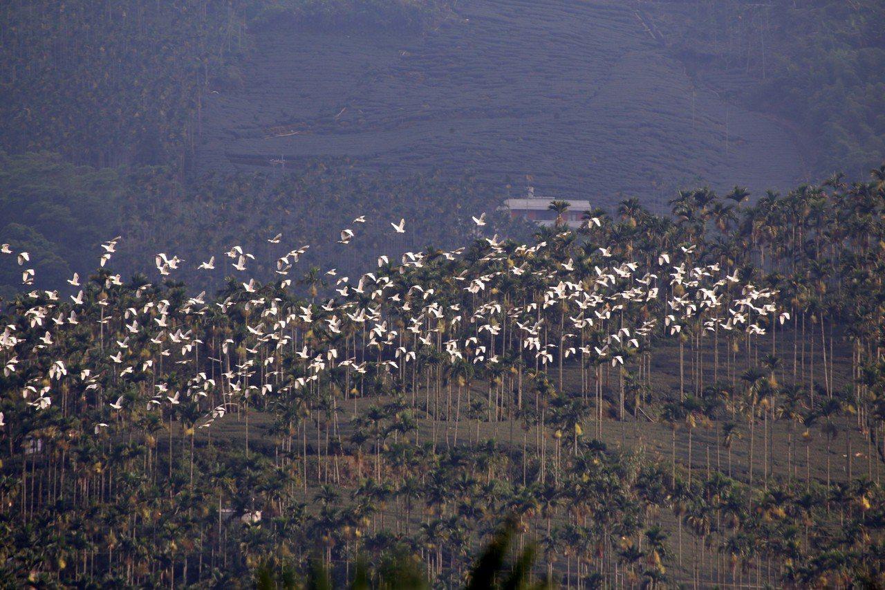 成千上萬黃頭鷺,去年秋天飛過太興山區。圖/簡慶輝提供