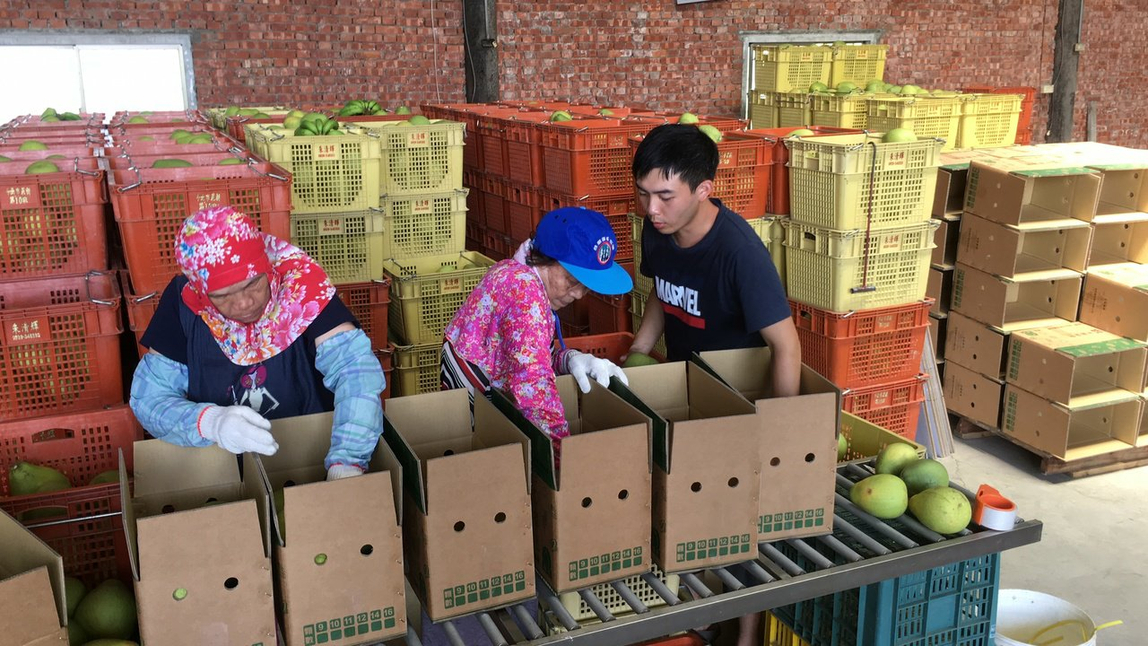 雲林縣斗六市是文旦主要產區之一,因採收期將至,多數農民原預計周末採收,受到颱風影...