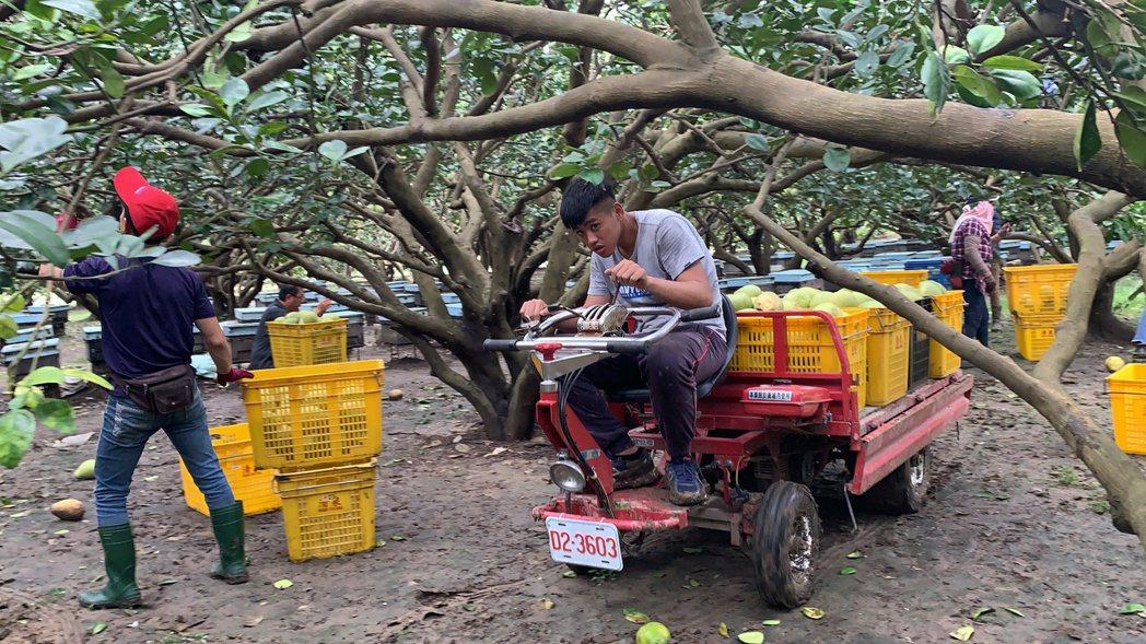 台南麻豆文旦忙搶收。記者吳淑玲/攝影