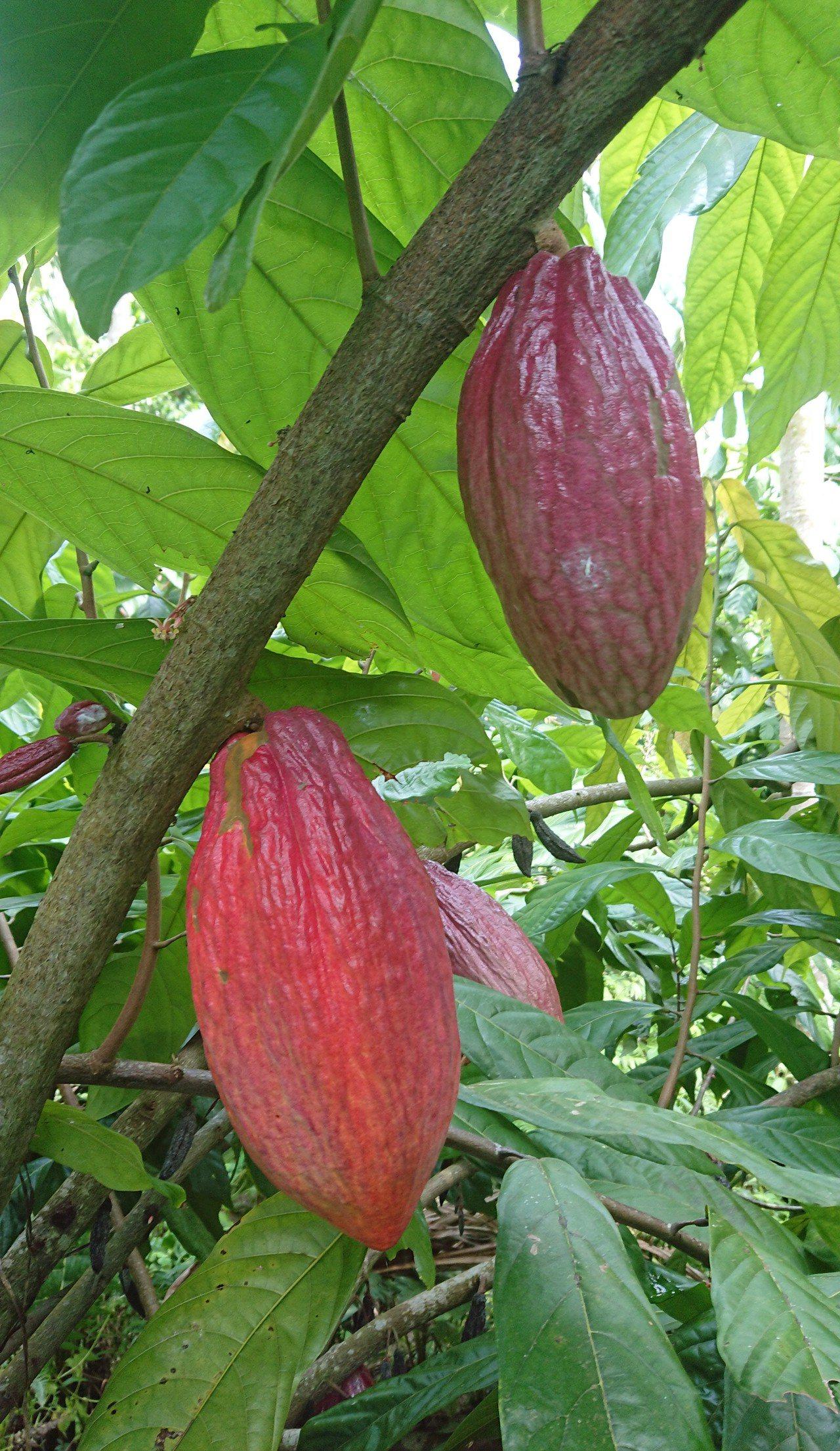 高祥恩將檳榔園改種可可樹,生產可可果。記者卜敏正/攝影