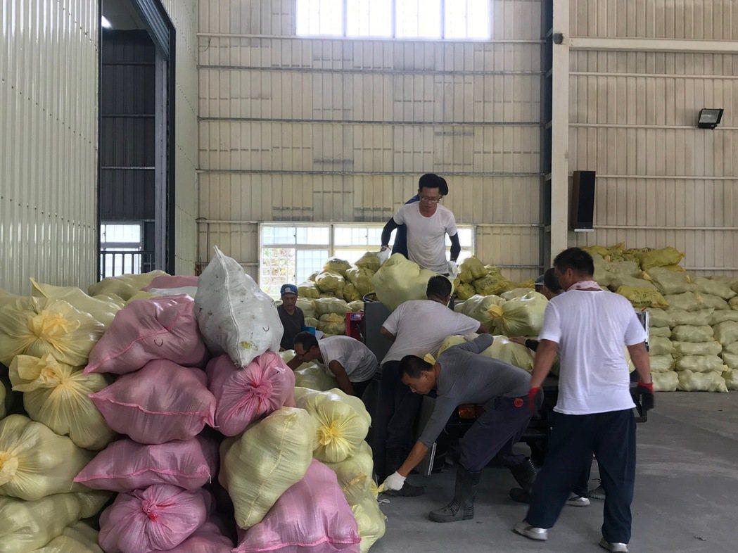 花蓮瑞穗文旦柚正在採收,許多都已裝袋。記者王思慧/攝影