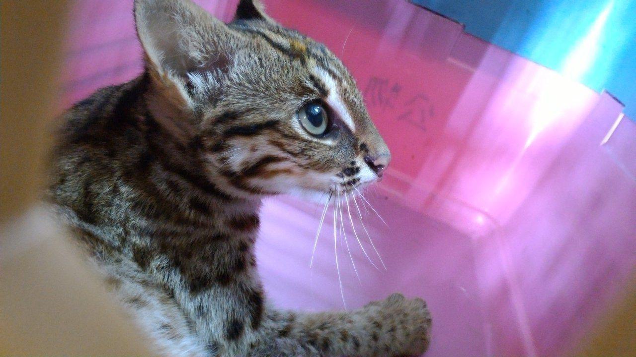 石虎特徵是眉心有兩條白線、耳背有黑底三角白斑,還有有如虎斑貓的花紋。圖/台中市新...