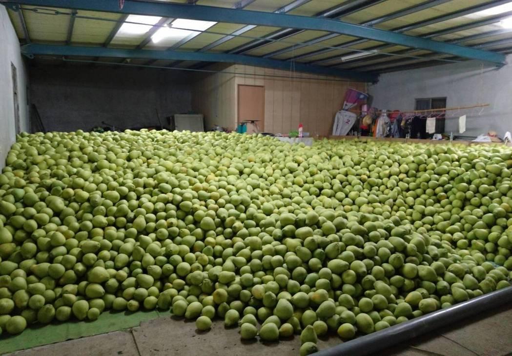 文旦柚耐存放,柚農都有倉庫可存放。圖/柚農羅峰提供