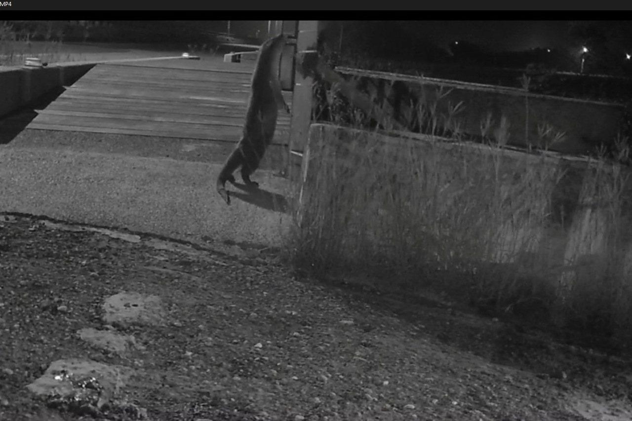 金門縣政府目前在水獺常出沒的30%水域,裝有多台的自動照相機,都有拍攝到水獺可愛...