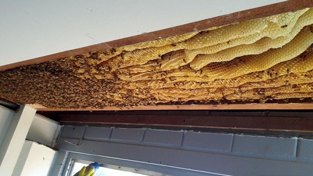 澳洲民宅天花板驚見50公斤巨型蜂巢。(路透) AUSTRALIA-BEES/:B...