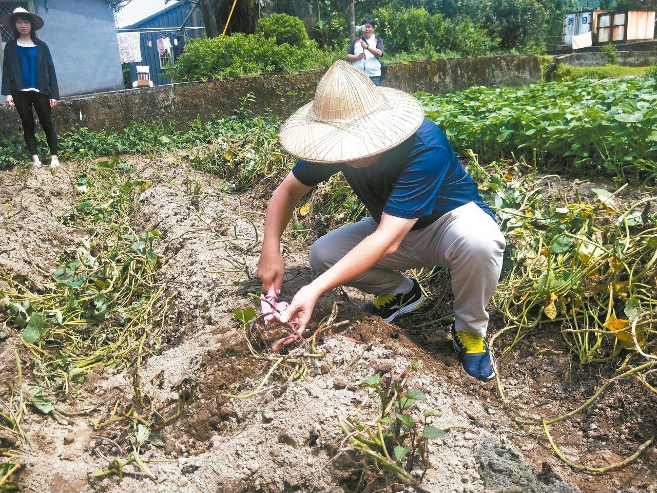 金山汪汪地瓜園規畫專區教導民眾種地瓜苗、怎麼挖地瓜,還有如何焢窯烤地瓜。 記者游...