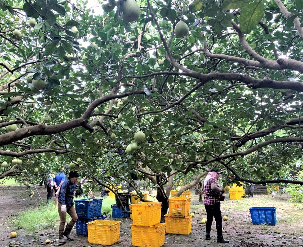 台南麻豆文旦也進入採收期,農民面對颱風可能撲台,也加快採收。 記者吳淑玲/攝影