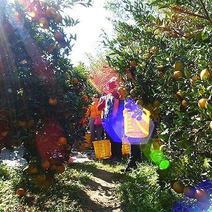 新竹縣適合採的水果有甜柿、草莓與柑橘,種類十分多樣。 中華大學/提供