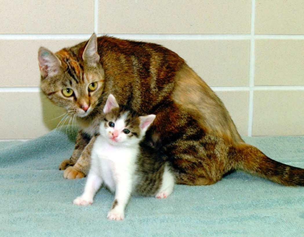 2001年世界第一隻複製貓CC(下)在美國德州誕生,至今已17歲,2006年與另...