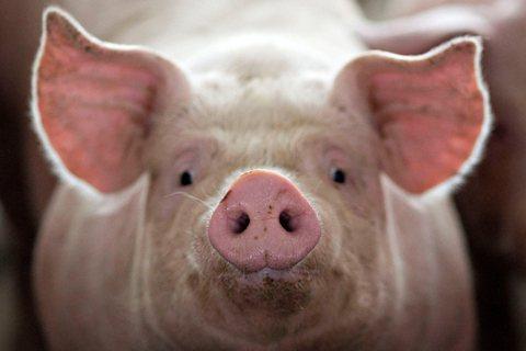 中國非洲豬瘟疫情,如何造成全球豬價骨牌效應?