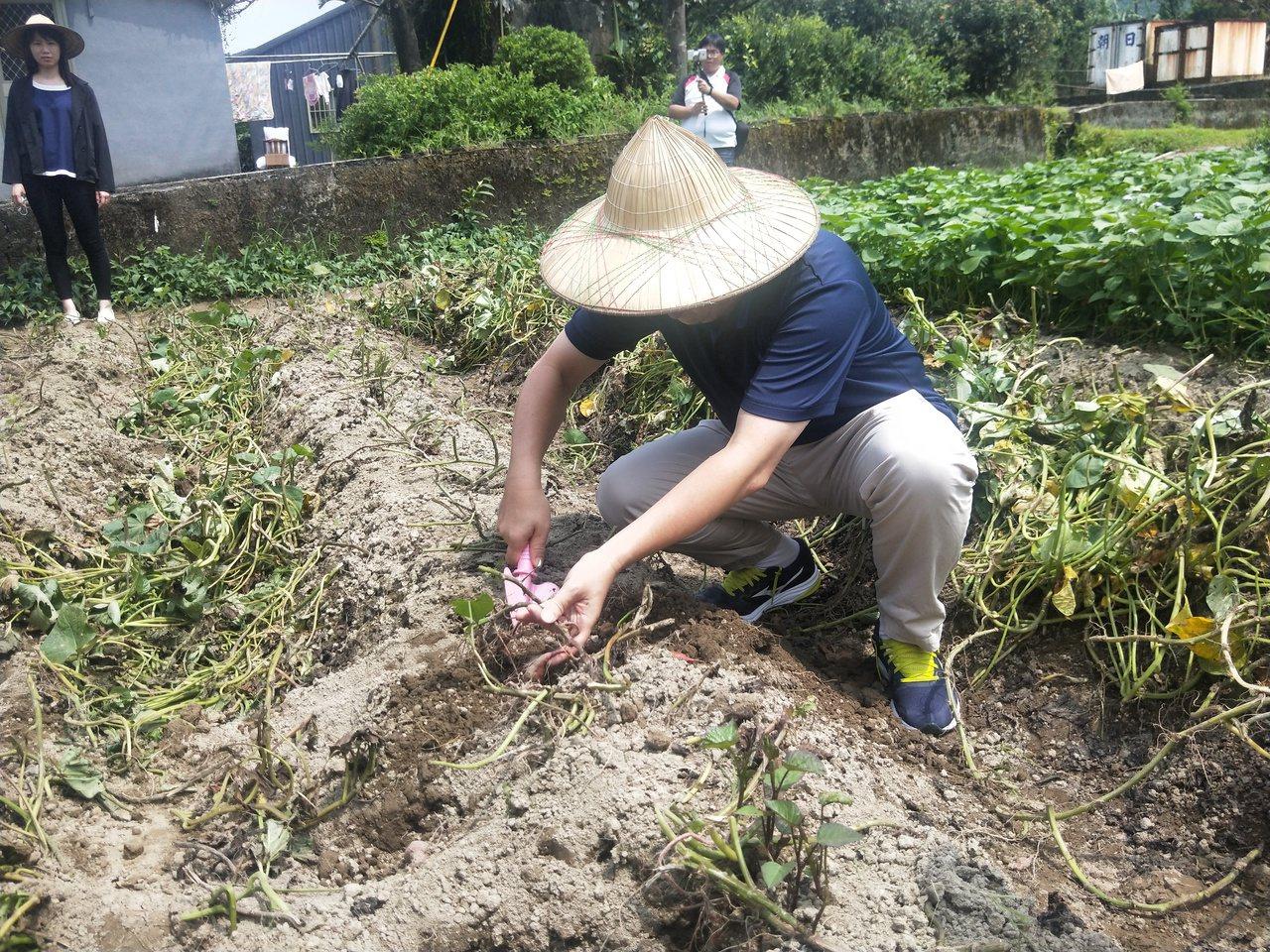 新北市金山汪汪地瓜園規畫專區教導民眾如何種地瓜苗、怎麼挖地瓜,還有如何親手操作焢...