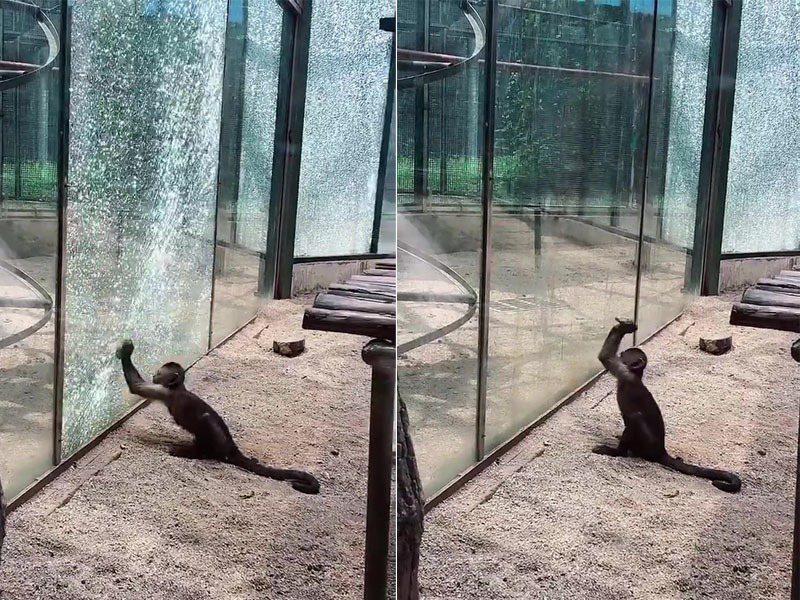 河南鄭州市動物園一隻捲尾猴,日前突然雙手拿石頭將玻璃打爆。圖:星島日報網站