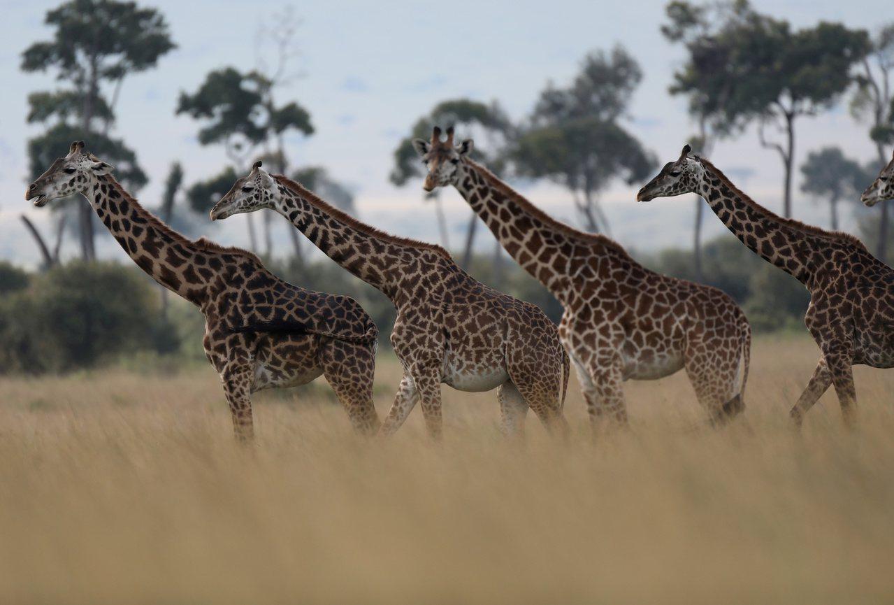 瀕危野生動植物種國際貿易公約(華盛頓公約,CITES)轄下委員會22日同意將長頸...