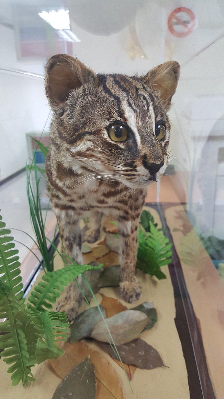 苗栗縣政府將去年底遭路殺的一隻公石虎製成標本,在農業處提供展示,宣導民眾認識及石虎保育。記者胡蓬生/攝影