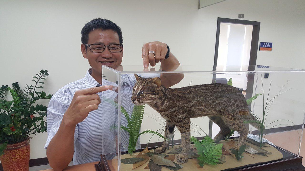 苗栗縣政府將去年底遭路殺的一隻公石虎製成標本,在農業處提供展示,宣導民眾認識及石...