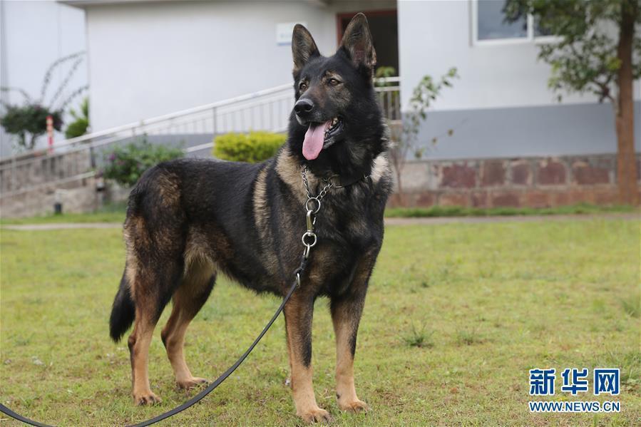 這隻名為「化煌馬」的警犬,因表現優異被大陸公安部評為「一級功勳犬」,大陸公安部並...
