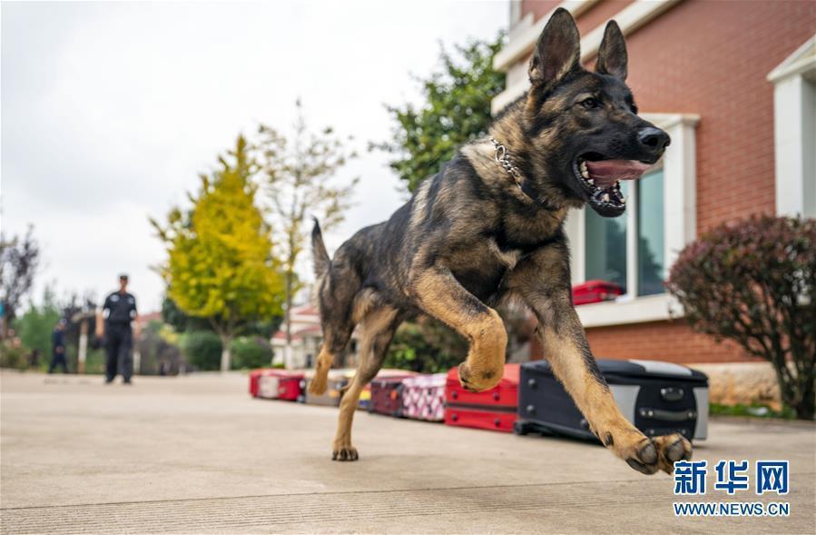 大陸第一隻複製警犬「昆勳」,已完成培訓並通過考核正式加入警犬對服役。(新華網)